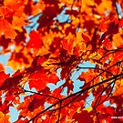 Red Maple Leaves by Michael Brewer