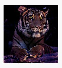 Tigress Photographic Print