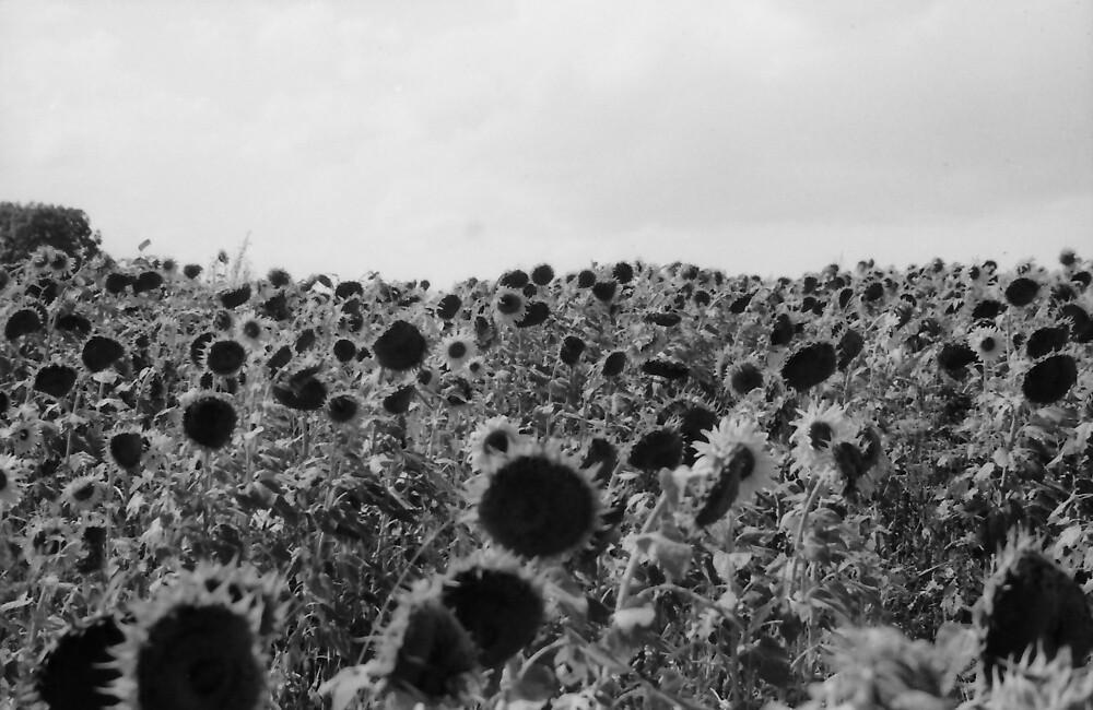 jaroslav kocian : sunflowers [ slnečnice ] by verivela