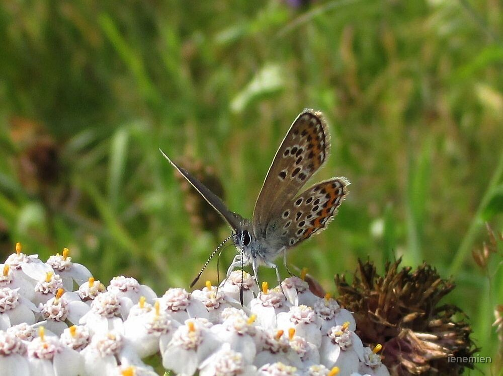 Common Blue, Female by ienemien