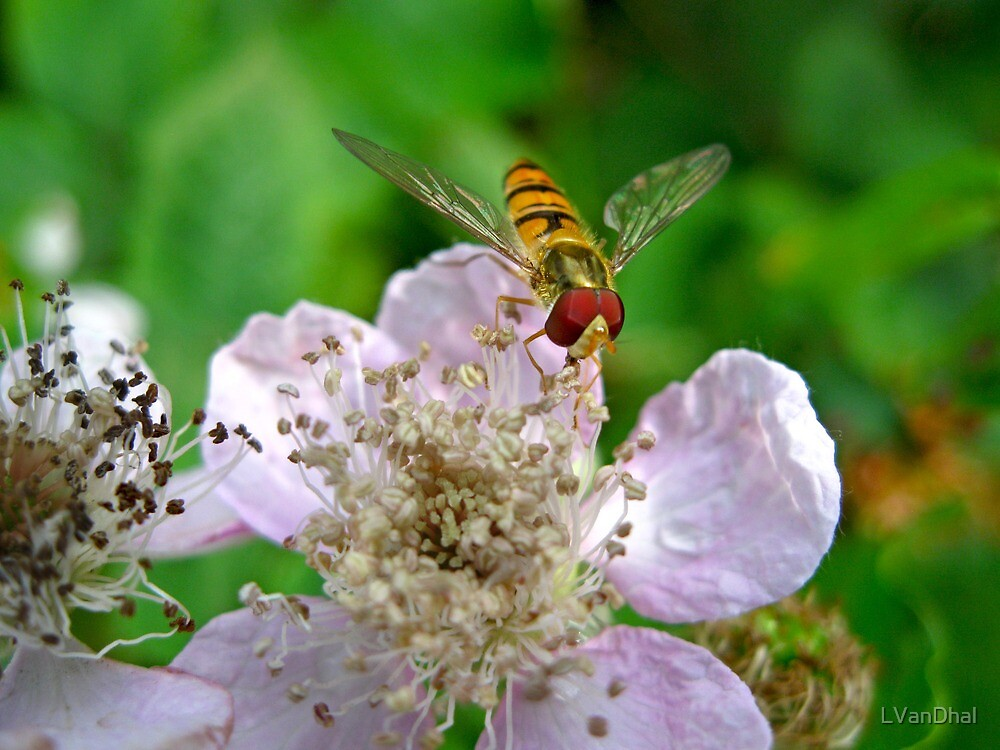 Hoverfly and Bramble Rose by LVanDhal