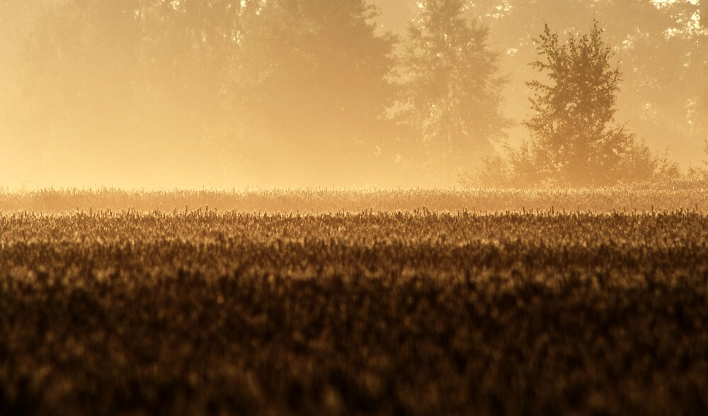 25.7.2013: Wheat Field, Summer Morning by Petri Volanen