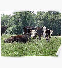 cow whisperer (sarnia2) Poster