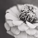 zinnia by cmpotts