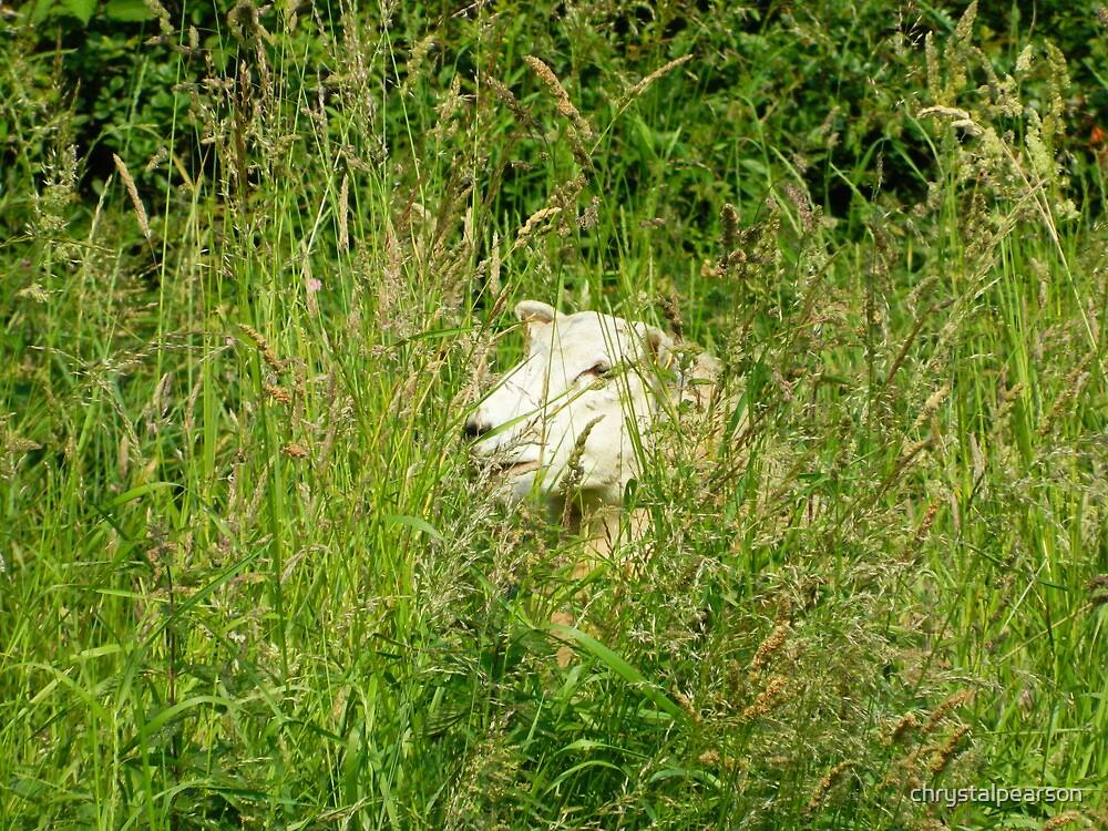 Sneaky Sheep by chrystalpearson
