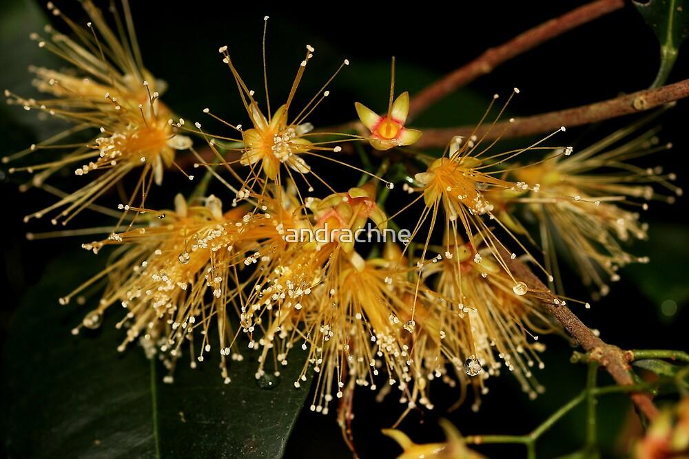 Syzygium fibrosum by andrachne
