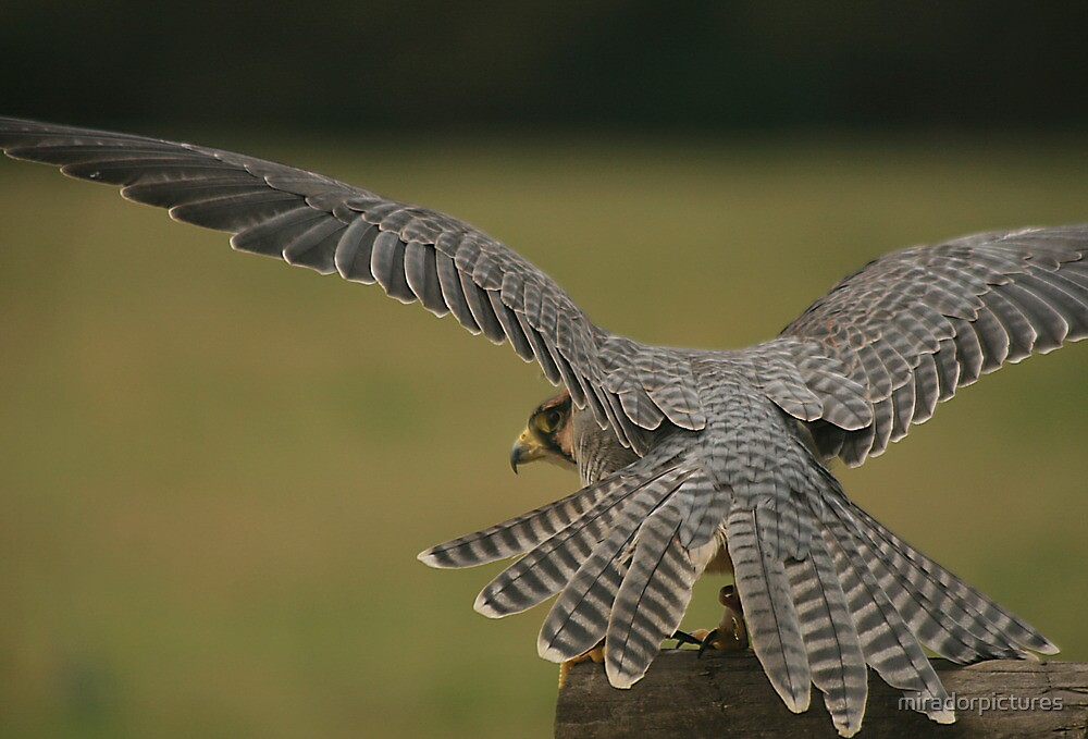 A kestral gets ready for take off by miradorpictures