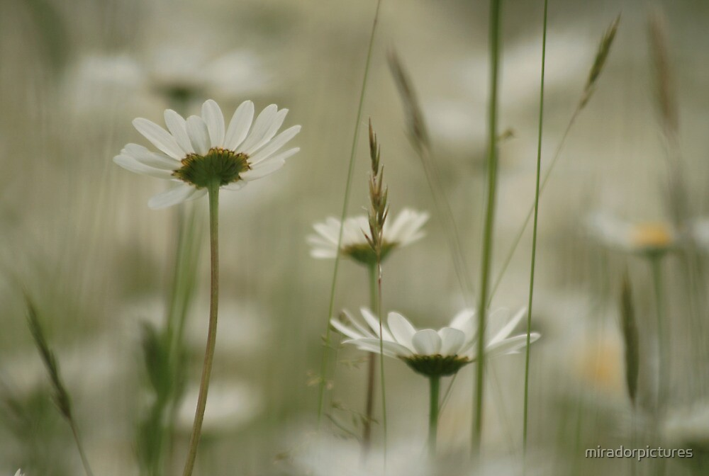 Oxeye daisies waving in the wind by miradorpictures