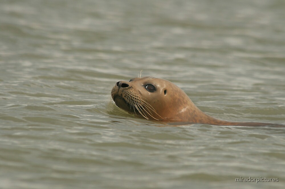 Wary, a common seal decides to investigate by miradorpictures