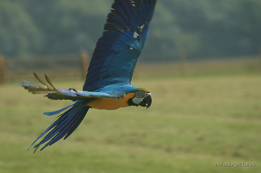 A Macaw in flight by miradorpictures