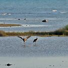 Sand Hill Cranes in the shallows, Beaver Island, MI by F.  Kevin  Wynkoop
