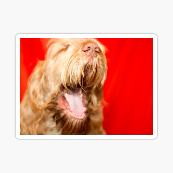 Laughing Spinone Sticker