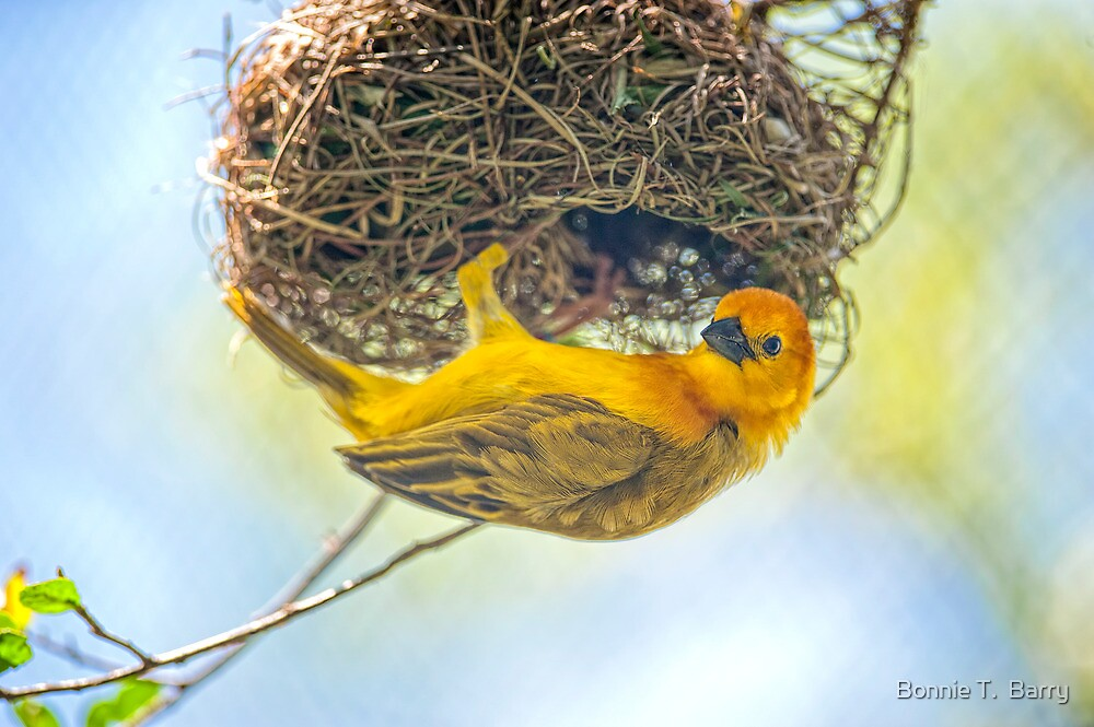 Tavata Golden Weaver by Bonnie T.  Barry
