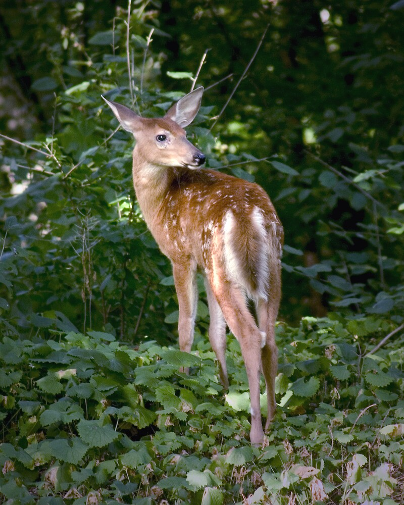 Whitetail Deer Fawn by Randall Nyhof