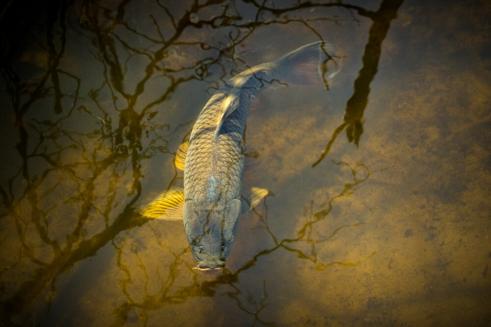Carp feeding in the shallows by Randall Nyhof