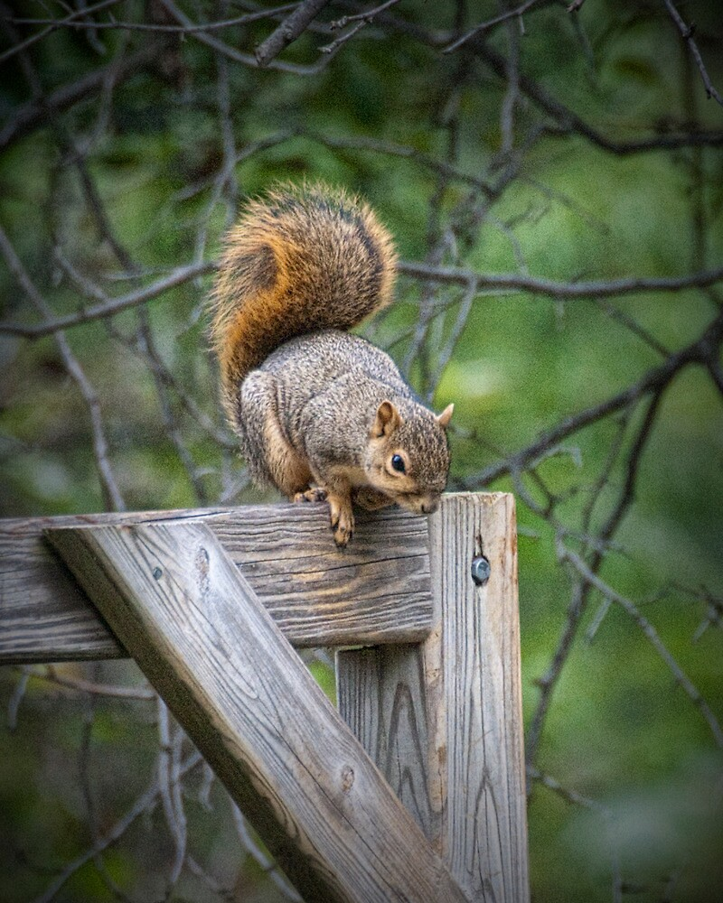 Fox Squirrel on a fence by Randall Nyhof