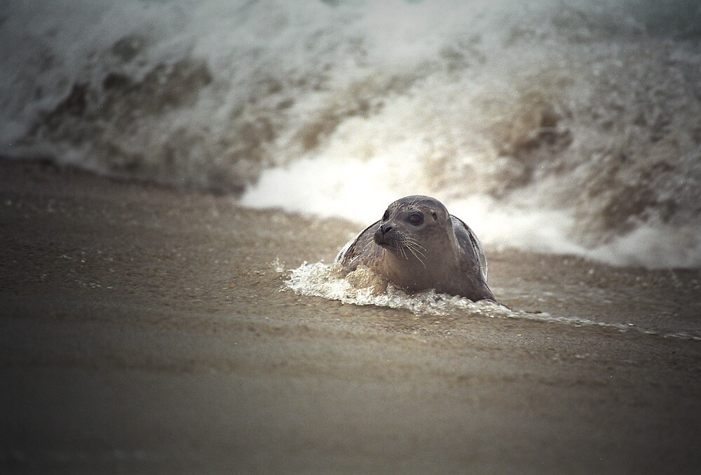 Seal in the surf at LaJolla Beach by Randall Nyhof