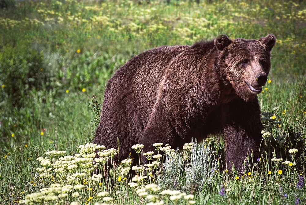 Grizzly Bear in Yellowstone by Randall Nyhof
