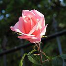 Only A Rose von BlueMoonRose