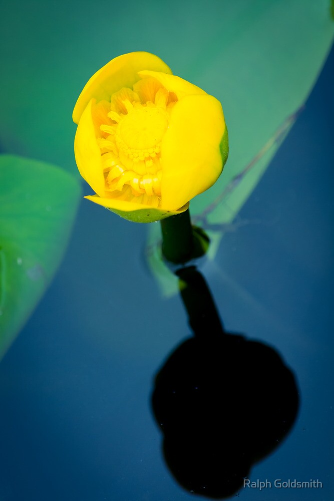 Water Lily  by Ralph Goldsmith
