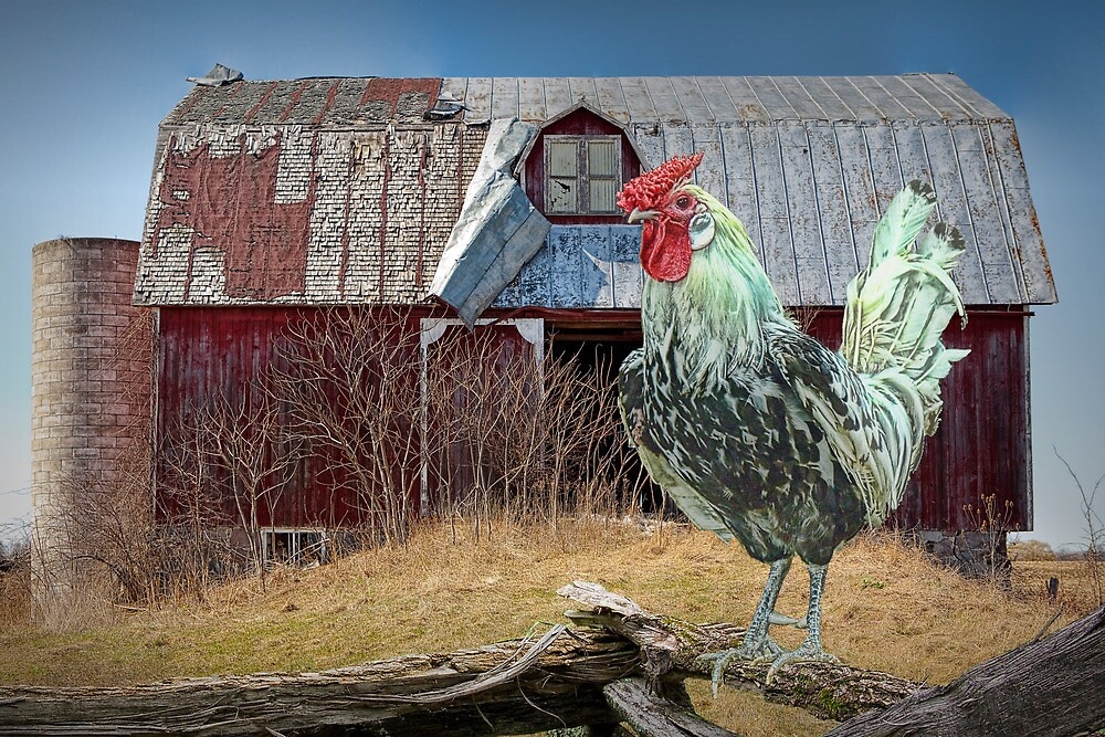 Rooster Chicken and Red Barn by Randall Nyhof