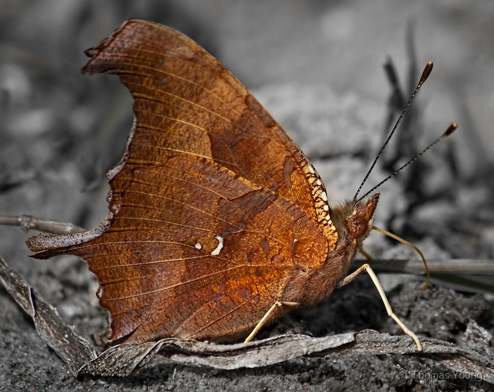 Eastern Comma by Thomas Young