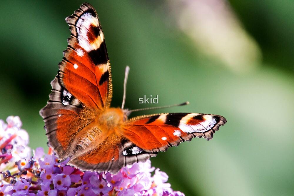 PeacockButterfly by skid