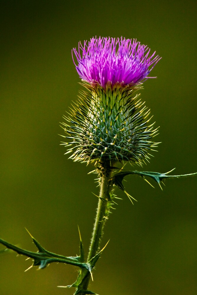 Bull Thistle No. 0181 by Randall Nyhof