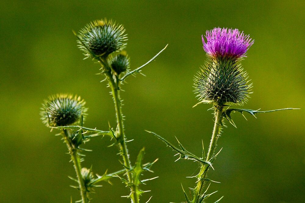 Bull Thistles No. 0228 by Randall Nyhof