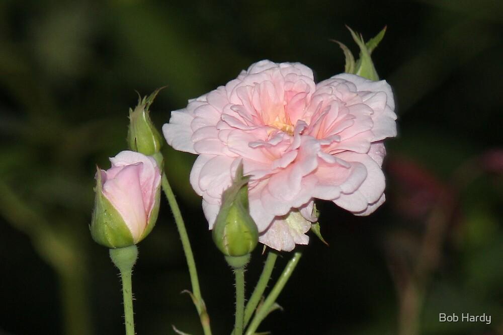 Rose Aglow by Bob Hardy