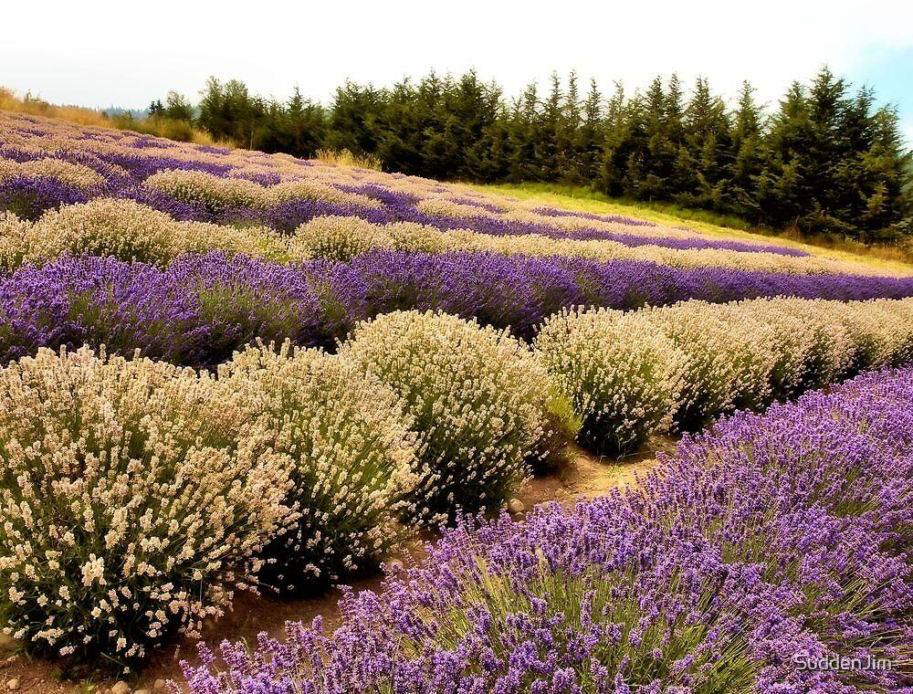 Lavender Field by SuddenJim
