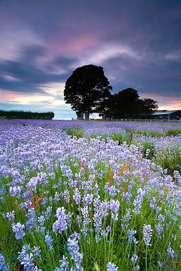 Lavender Blues by Jeanie