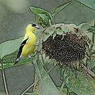 Yellow Goldfinch by Eileen McVey