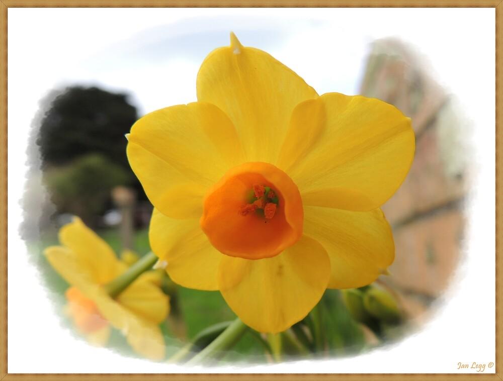 Daffodil by Jan Legg