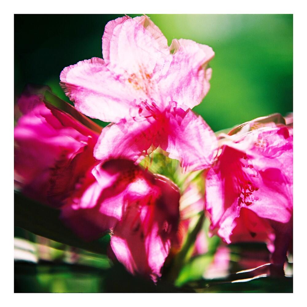 Rhododendron II. (square) by Zuzana Vajdova