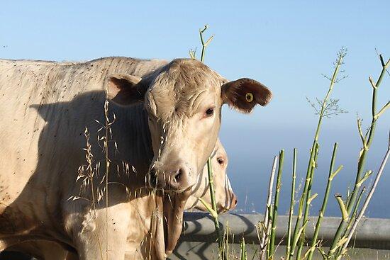 Cliff Climbing Cows by Molly Quinn