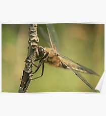 Four spotted chaser dragonfly  Poster