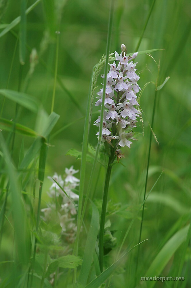 Heath spotted orchids in bloom by miradorpictures