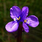 Wild Double Flag iris - Ollerton Reserve Moe by Bev Pascoe