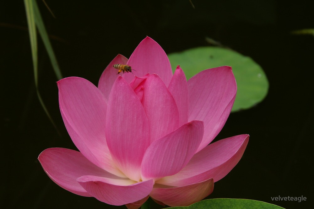 Honey Bee And Lotus by velveteagle