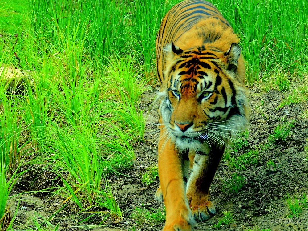 Stalking Tiger by Barnbk02