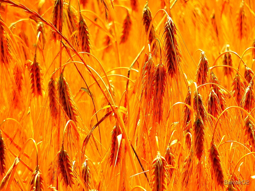 Summer Wheat by Barnbk02