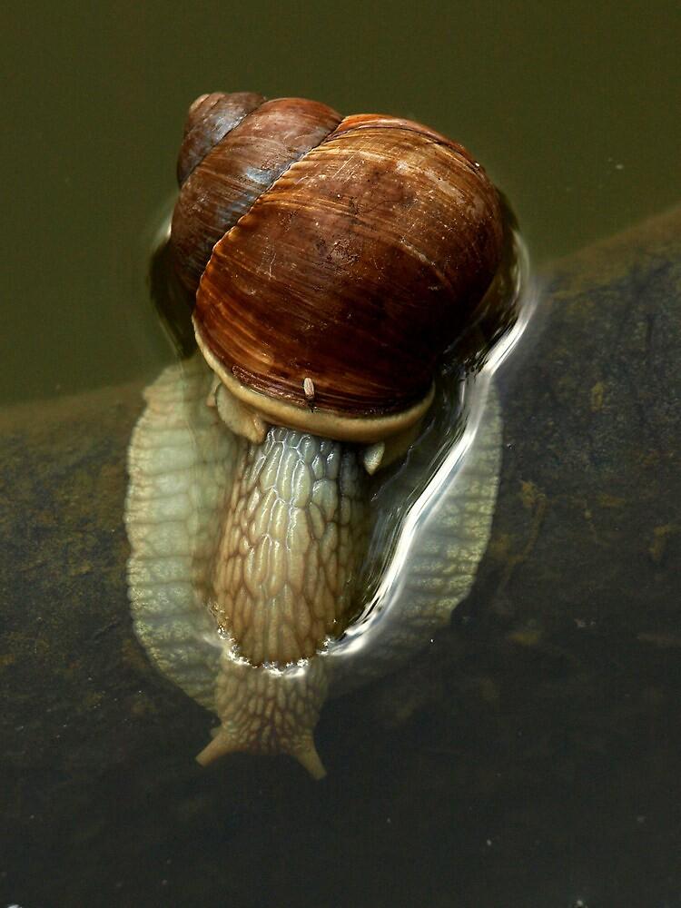 Snail by ulryka