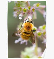 Moss Carder Bee Poster