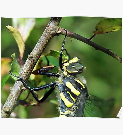 Golden Ring Dragonfly Poster