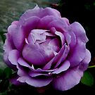 Purple rose from Mainau by bubblehex08