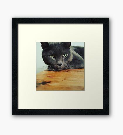 Russian Blue cat Framed Print
