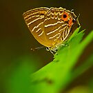 swllowtail  butterfly by davvi