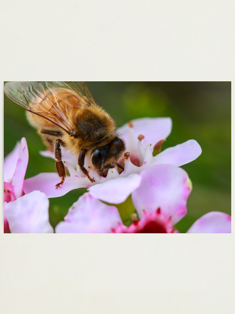 Alternate view of Bee on Geraldton Wax Photographic Print