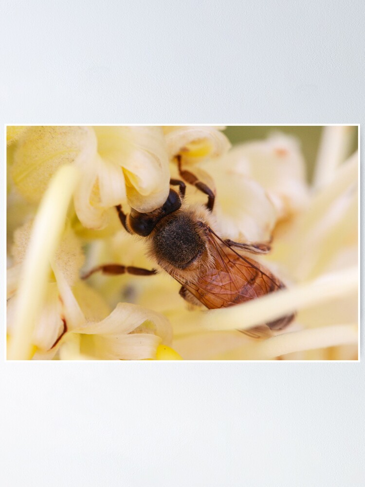 Alternate view of Bee hiding in the grevillea Poster